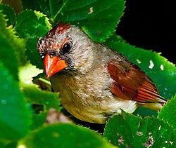 Female_Cardinal_DSC8248.jpg