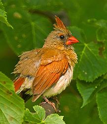 Female_Cardinal_fluffed_DSC0082.jpg