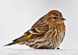 Goldfinch_in_winter_DSC68971.jpg