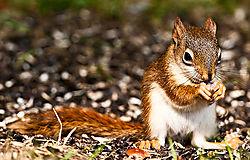 Red_Squirrel_DSC9366.jpg
