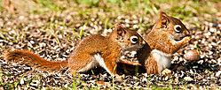 Rsquirrel_with_friend_DSC9428.jpg
