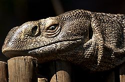 African_Lizard.jpg