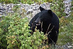 Black_Bear1.jpg