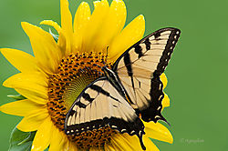 Flowers_Sunflower_Swallowtail_0119SM.jpg