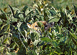 Hiding_Cheetah_01-0004.jpg