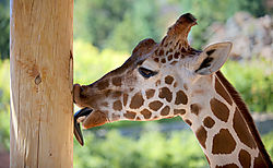 JPEG_GIRAFFE_LICKING_POLE_20100917_1513_copy.jpg