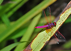 Red-Dragionfly.jpg