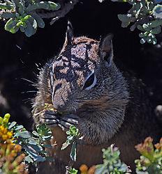 Squirrel_California_coast_ed.jpg