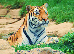Tiger22.jpg