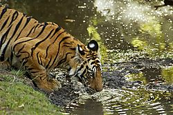 Tiger_at_water.jpg