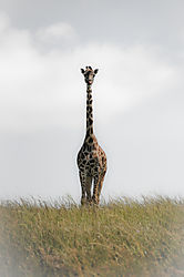 giraffe12.jpg