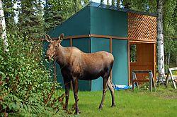 moose_040.JPG
