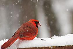 cardinal_7452.JPG