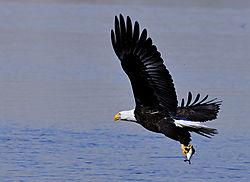 Bald_Eagle_-_Barr_Lake_1JG1787_2_copy.jpg
