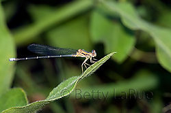 brown_damselfly_8.jpg