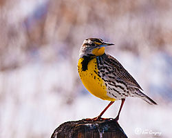 Meadow_Lark_Barr_Lake_State_Park_3JG8776March_05_2013-12.JPG