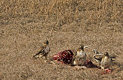 4_Hawks_on_a_Deer_Carcass.jpg