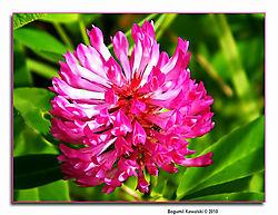 Koniczyna_kowa-_Trifolium_pratense_kopia.JPG