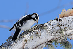 Downy_Woodpecker_3.jpg