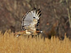 100-Red_Tailed_Hawk.jpg