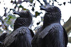 11-Black_Vultures_juvenile_2_.jpg