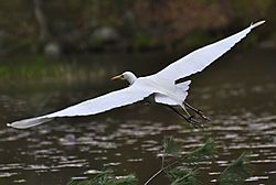 28-Great_Egret.jpg
