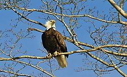 6-Bald_Eagle.jpg
