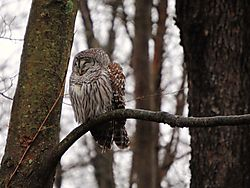 7-Barred_Owl.jpg