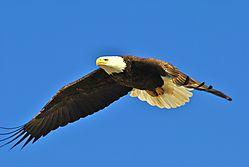 Bald_eagle-1.JPG
