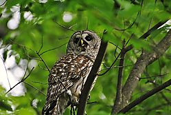 Barred_Owl-2.jpg