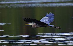 Blue_Heron_brnfrd_035.JPG
