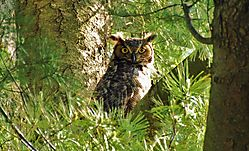 Great_Horned_Owl_1.jpg