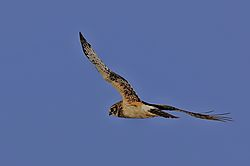 Northern_Harrier-1-org.jpg