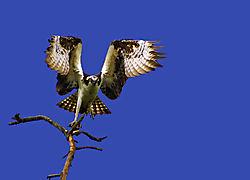 Osprey-6.jpg