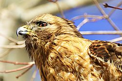 Red_Shouldered_Hawk-1_3_.jpg