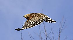 Red_Shouldered_Hawk-2_2_.jpg