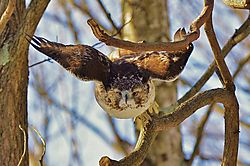 Red_Tailed_Hawk-1.jpg