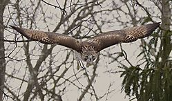 Red_Tailed_Hawk-16_2_.jpg