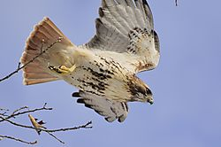 Red_Tailed_Hawk-7.jpg