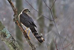 Sharp_Shinned_Hawk-1.jpg