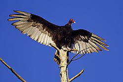 Turkey_vulture-2.JPG
