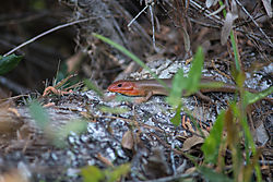 600_8585-Broad-Head-Skink.jpg