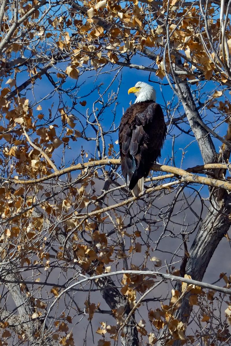 Bald_Eagle_01-2011_DSC0938A_-_4x6_copy_1200_px