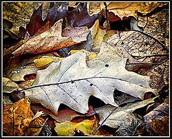 Leaf_Matthaei3.jpg