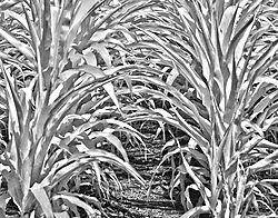 Corn-Row.jpg