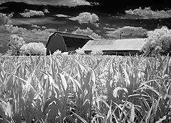 IR-Barn-_-Corn.jpg