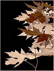 IR_Leaf2-2012.jpg