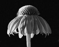 cone_flower3.jpg