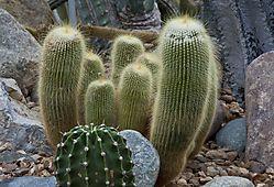 fuzzy_cactus.jpg