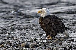 Eagle_by_the_river.jpg